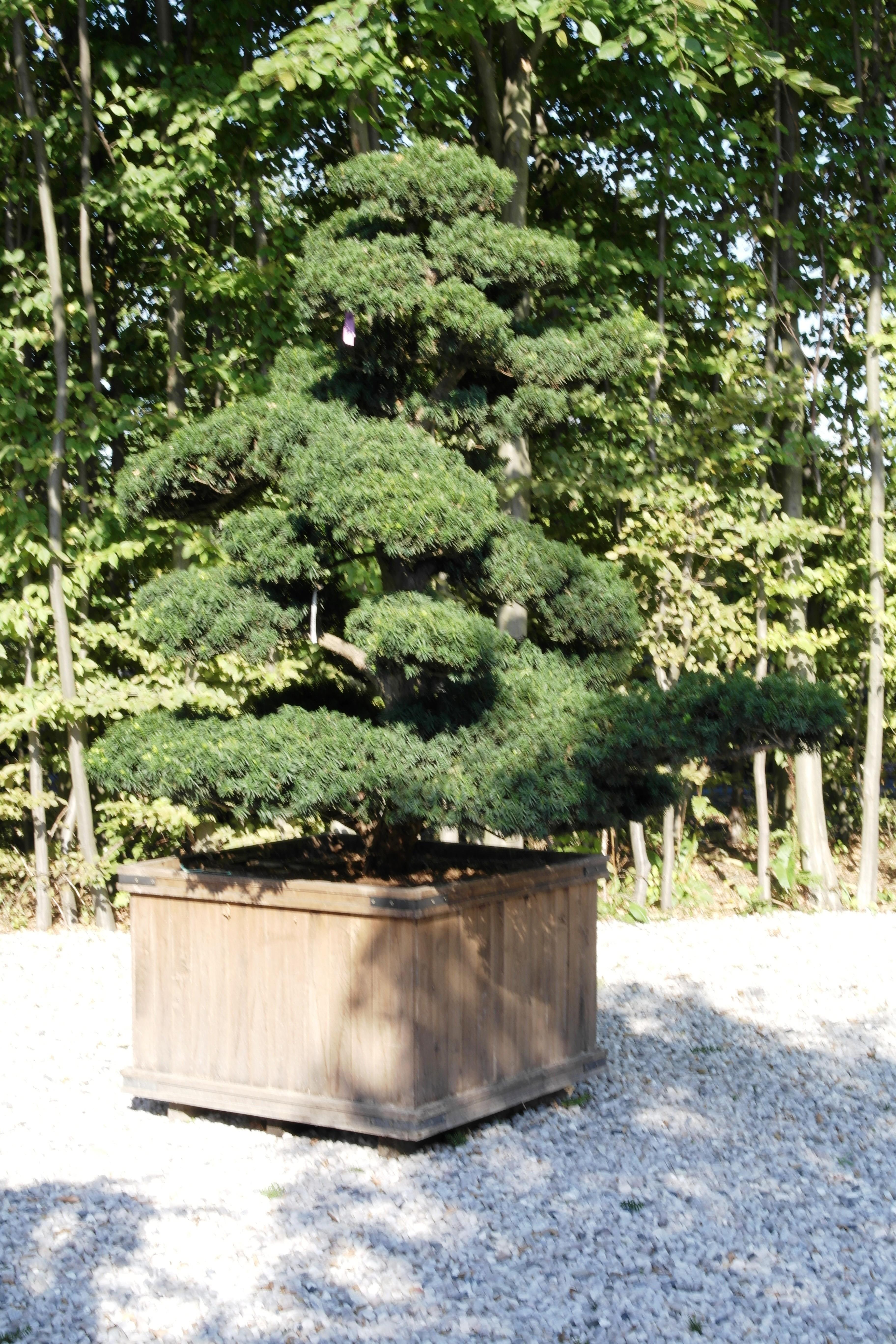 Japanese Yew Spreading Yew