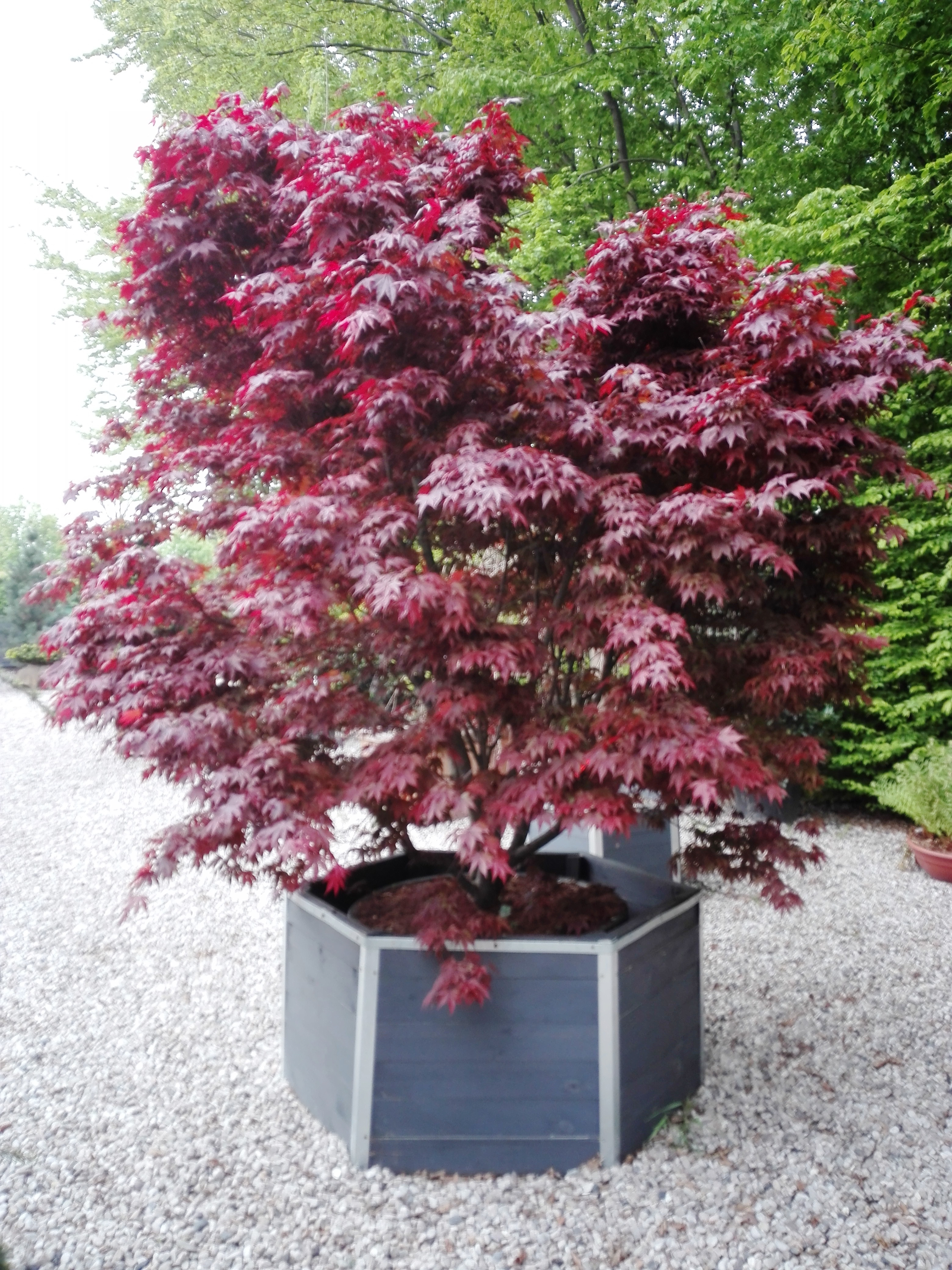 Acer palm. Bloodgood extra