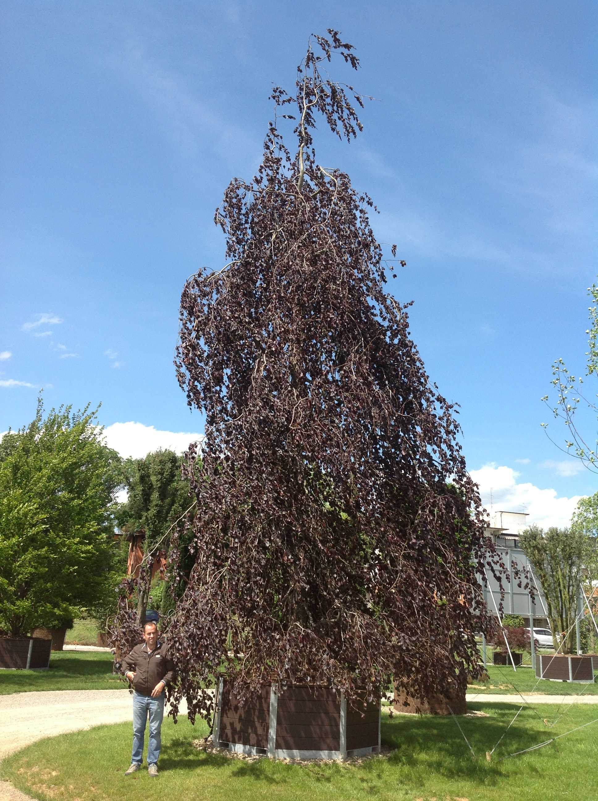 6. Fagus sylvatica Purple Fountain