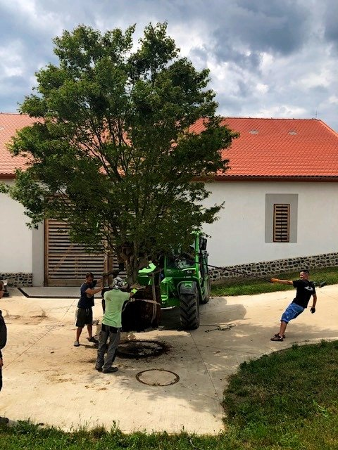 Planting mature trees for a customer in the Louny district