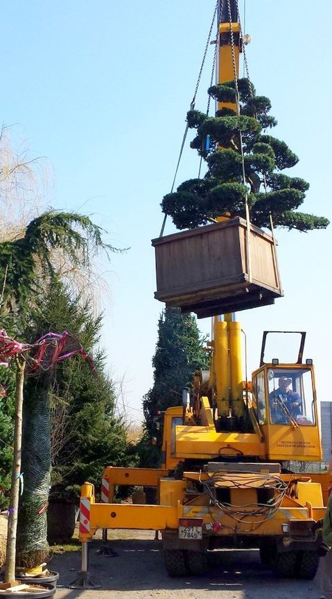 Transport and installation of large trees